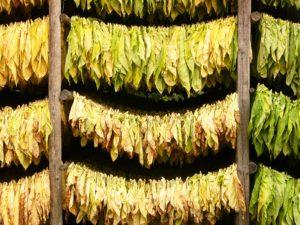 Tabakblätter zur Trocknung aufgehängt