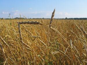 Getreide Polen - LumberPrint - Fotodruck - Altholz